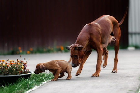 � fond: Adorable little Rhodesian Ridgeback puppies playing together in garden. Funny expressions in their faces. The little dogs are five weeks of age. Banque d'images