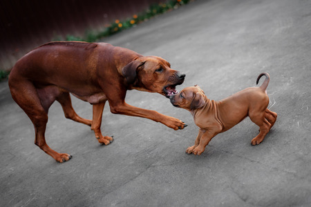 snoozing: Adorable little Rhodesian Ridgeback puppies playing together in garden. Funny expressions in their faces. The little dogs are five weeks of age. Stock Photo