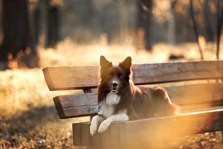 赤のボーダーコリー犬、草原の中の夏 写真素材