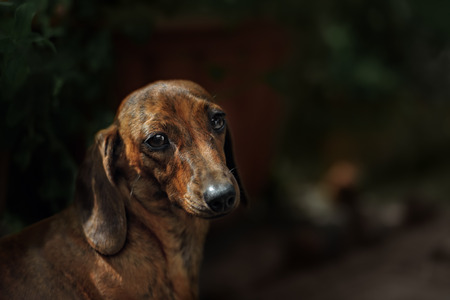 short haired: Portrait of dog breed short haired dachshund