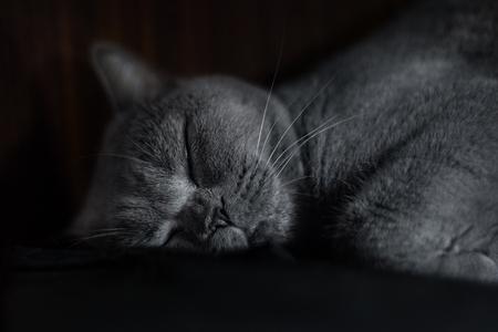 true bred: Portrait of a sleepy purebred Russina Blue Cat