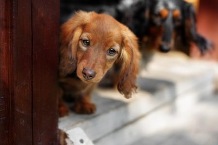 rad: Portrait of rad Dashund puppy in outdoor