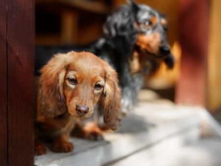 Portrait of rad Dashund puppy in outdoor