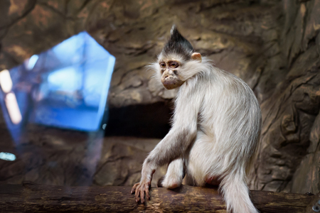 wicked: Wicked monkey portrait in the zoo indoore