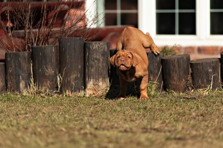 erg grappig puppys Bordeaux dog in de open lucht Stockfoto