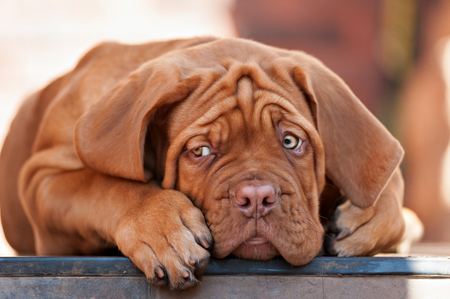 bordeauxdog: very funny puppys Bordeaux dog in open air Stock Photo