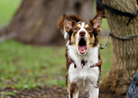 Funny border coollie dog laughs in summer day