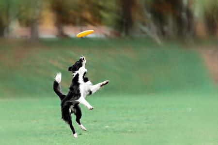 perros graciosos: Border collie coger el disco volador en salto en día de verano