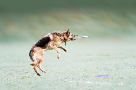 ジャンプ アンド プレイでディスクをキャッチ面白いドイツ語羊飼い 写真素材