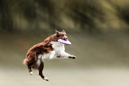 ボーダーコリー犬の夏の日にジャンプでフリスビーをキャッチ