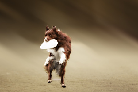 playful behaviour: Border collie dog catching frisbee in jump in summer day Stock Photo