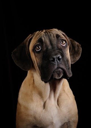 cane collars: portrait of a Mastiff on a black background