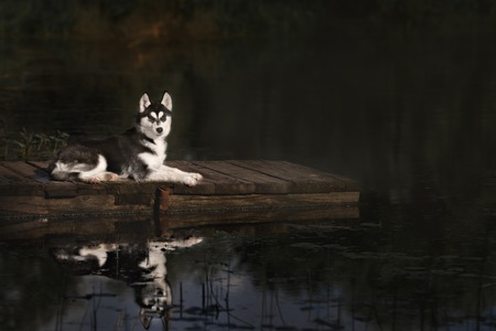 brink: husky standing on the brink of a lake