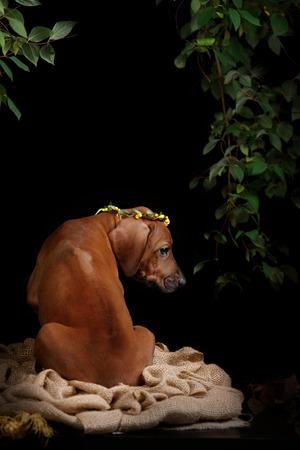 rhodesian: Rhodesian Ridgeback dog resting in front of black background Stock Photo