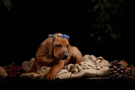 ridgeback: Rhodesian Ridgeback dog resting in front of black background Stock Photo