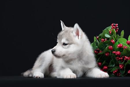 holiday pets: Cute little puppy of syberian husky in dark studio