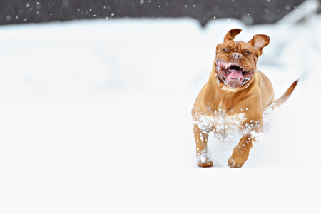 dog run: Dog Bordeaux dog run on winter snow