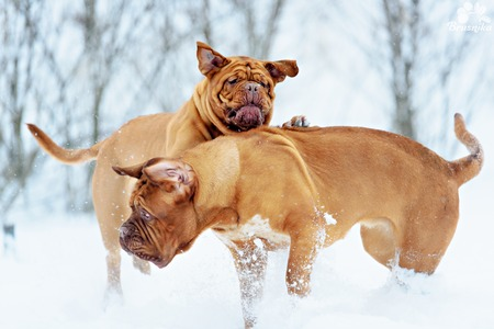 dog run: Two Dog Bordeaux dog run on winter snow