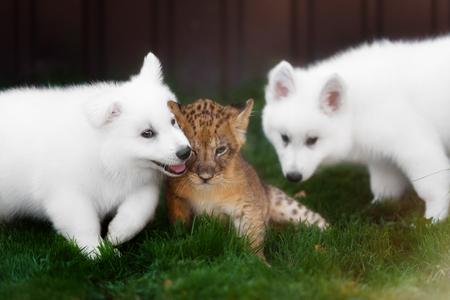 pastor: Pastores blancos suizos juego cachorro y besar con cachorro de león Foto de archivo