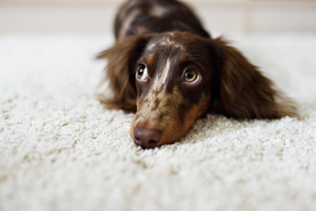 reverie: Dachshund very cute puppy looks at camera