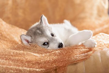 lies down: Cute siberian husky puppy lying on its side