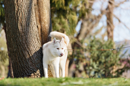 poo: outdoor portrait of beautiful girl and malamutes puppy Stock Photo