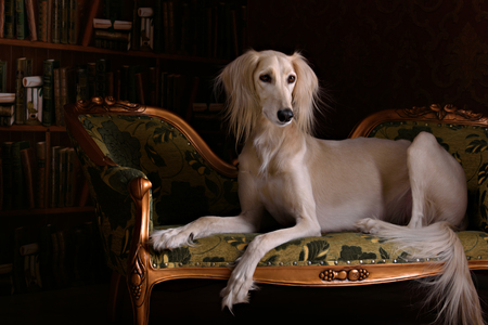 greyhound saluki dog in beutiful Royal interior
