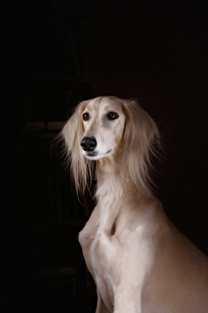 greyhound saluki dog portrait in black background Archivio Fotografico