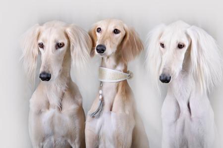 lite: Portrait of three dog breeds Persian Greyhound Saluki Lite studio