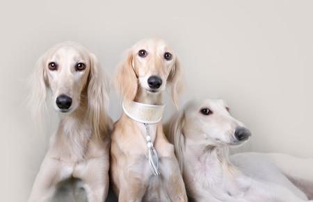 Portrait of three dog breeds Persian Greyhound Saluki Lite studio