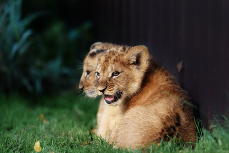 lion cub: Alert small lion cub with brown fur in outdoore Stock Photo