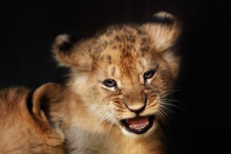 lion cub: Alert small lion cub grinned with brown fur. Closeup portrait Stock Photo