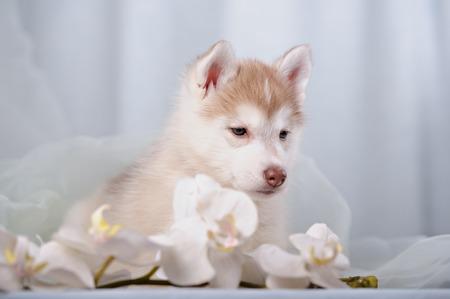 lite: gentle puppy husky and orchids in lite studio