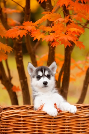 gray wolf black and white: Siberian husky puppy sits in basket on background of autumn leaves