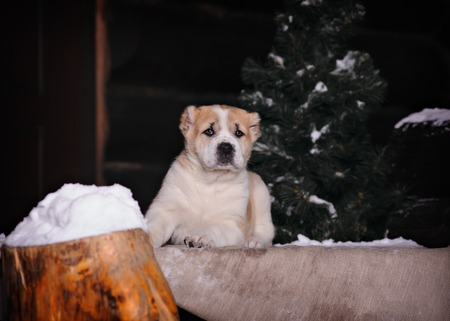 friendless: Amazing Central Asian Shepherd puppy sitting on snow and grass in winter