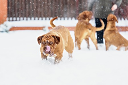 bordeaux dog: Dog Bordeaux dog in snow winter day