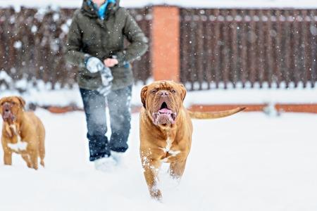 lunares rojos: Perro perro Burdeos, en días de invierno la nieve Foto de archivo