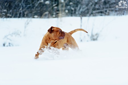 moles: Dog Bordeaux dog in snow winter day