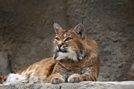 carnivore: lynx lying on the stone in zoo