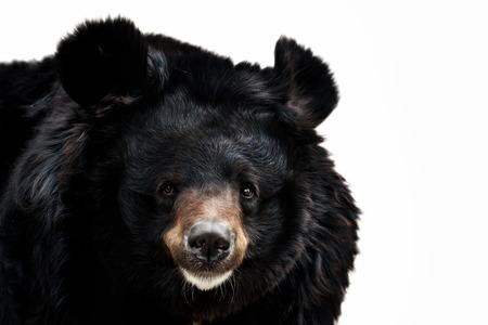 oso negro: retrato de un oso en un fondo blanco Foto de archivo