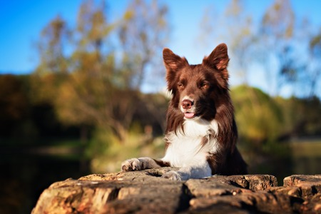 Red border collie dog sitting on a log in summer