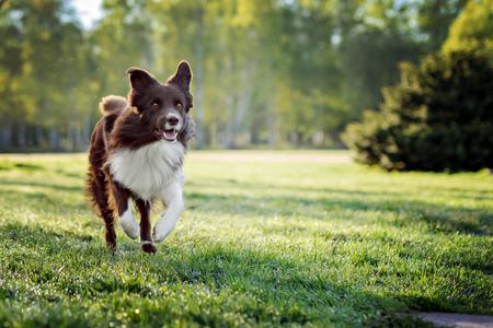 Border Collie hond lopen op een achtergrond van groen gras Stockfoto