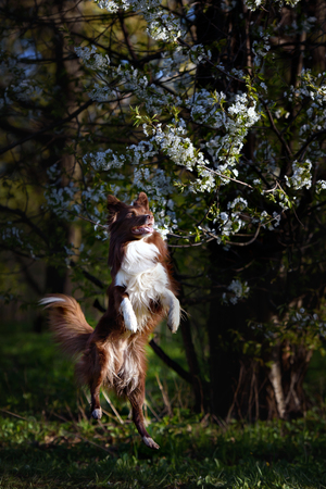 playful behaviour: Border Collie dog catches the disc on a background of flowering garden