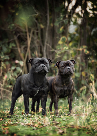 staffordshire: two staffordshire bull terrier dogs in park