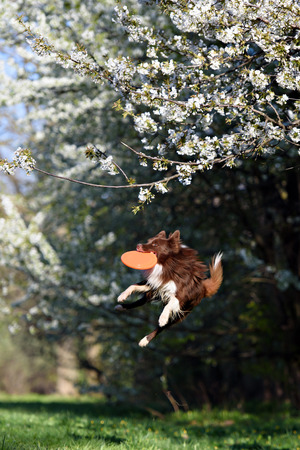 ボーダーコリー犬は花の咲く庭園の背景にディスクをキャッチします。