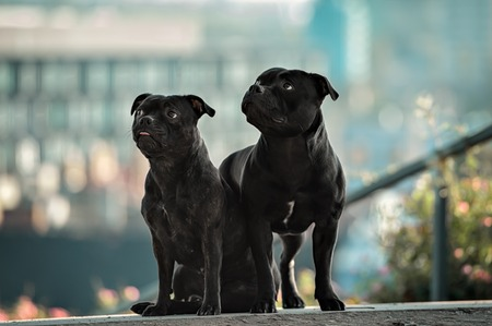 two staffordshire bull terrier dogs against the panorama of the city
