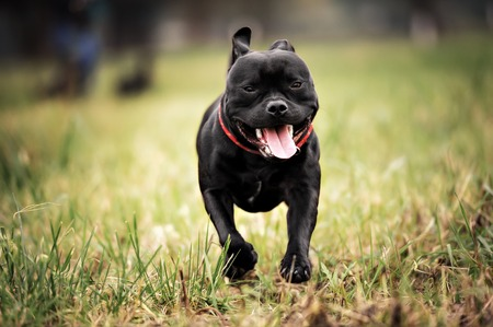 English staffordshire bull terrier running in road Stock Photo