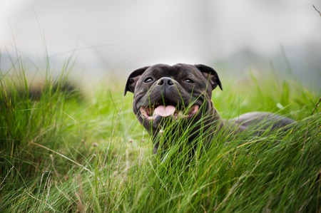 Close-up portrait of black staffordshire bull terrier lying on lawn grass