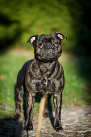 staffordshire: Female english staffordshire bull terrier in summer day