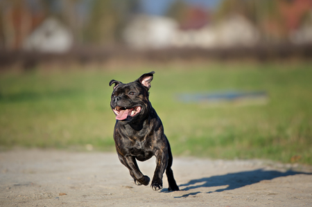 English staffordshire bull terrier running in summer day 版權商用圖片
